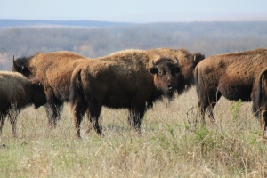 Wild Bison at the Tallgrass Prairie Preserve
